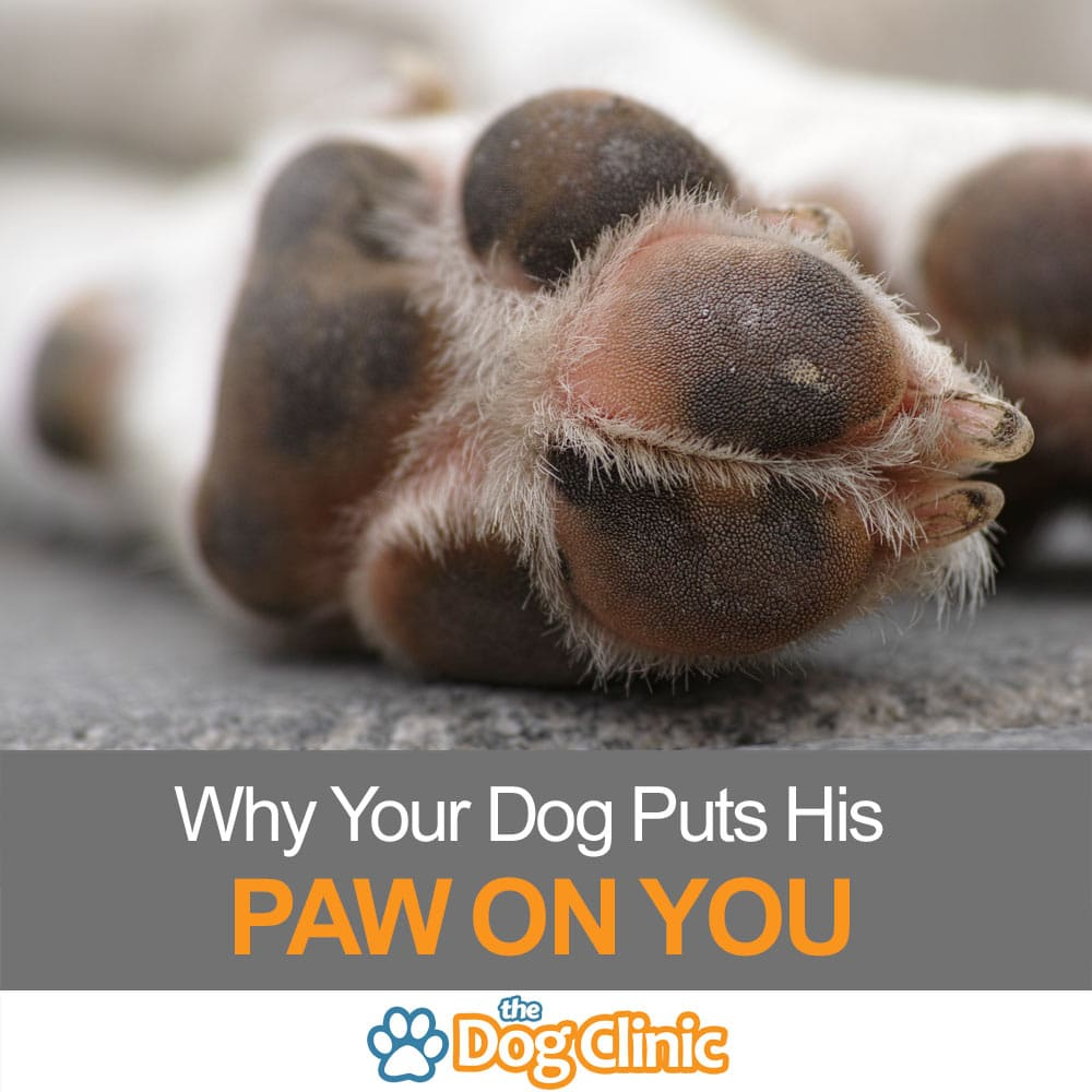Why does my dog put his paw on me the dog clinic Why does my dog bark when i leave