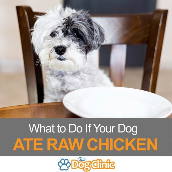 Worried because your dog ate raw chicken? Here's what to do