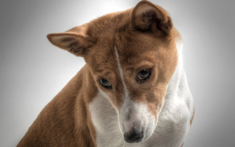 The basenji is a stubborn breed