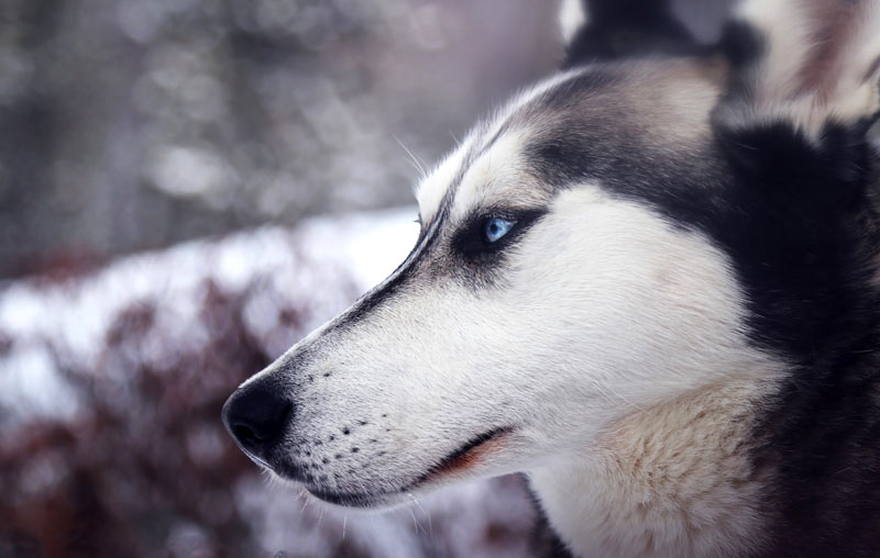 The Siberian husky is a popular, if difficult, breed