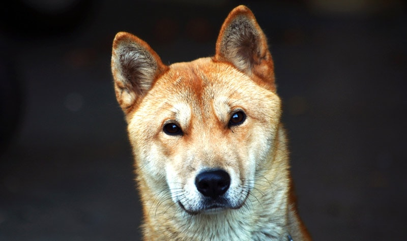 The Korean Jindo is a highly loyal breed