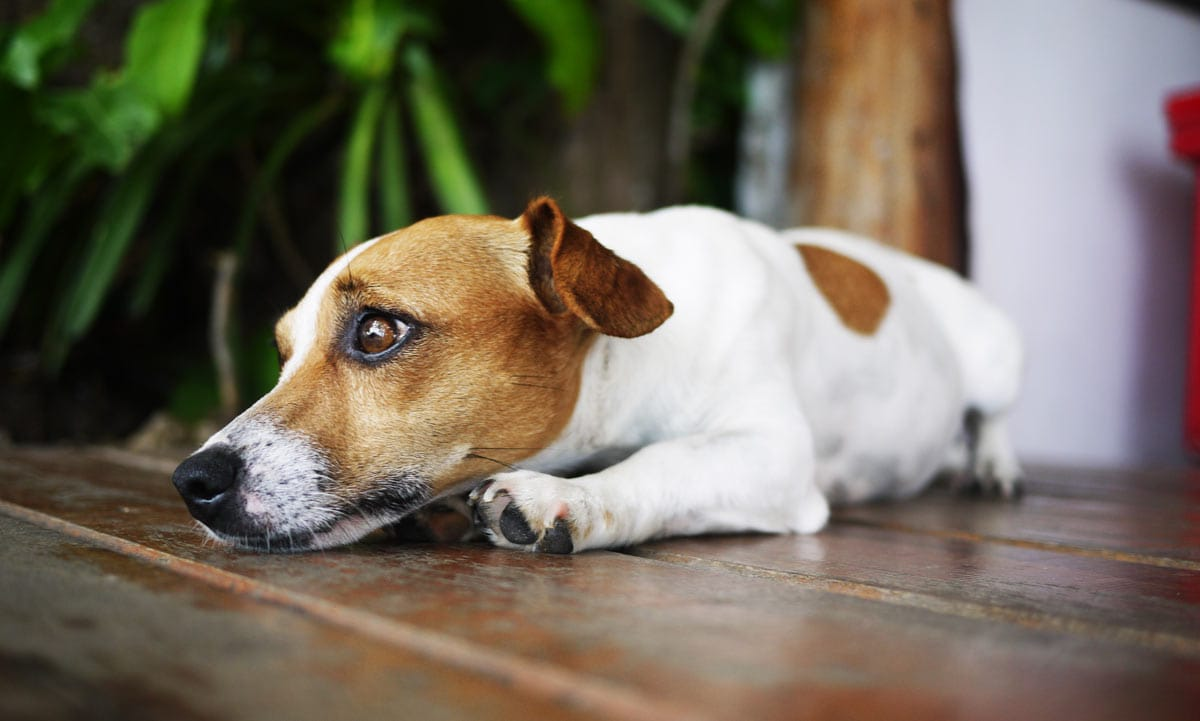 Dogs may urinate as a sign of anxiety