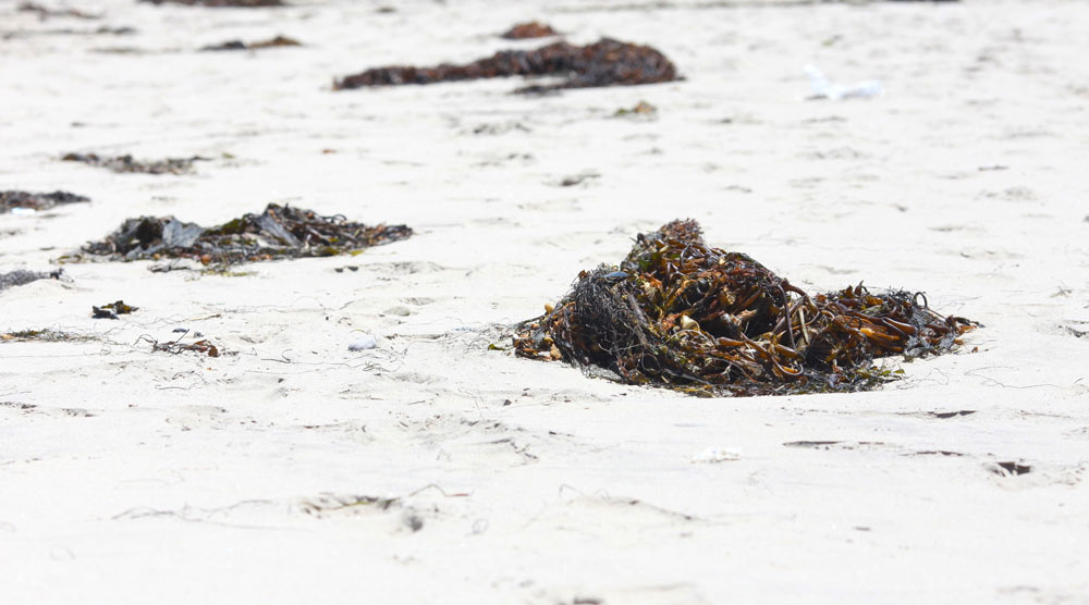 Dried seaweed found on beaches can be very dangerous to dogs