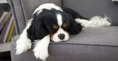 A dog snuggled against a sofa cushion