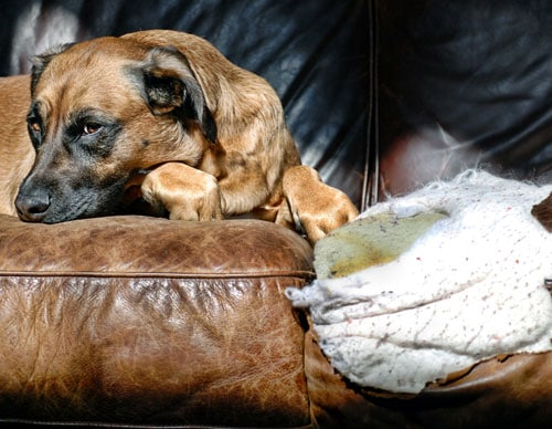 A dog chewing the sofa