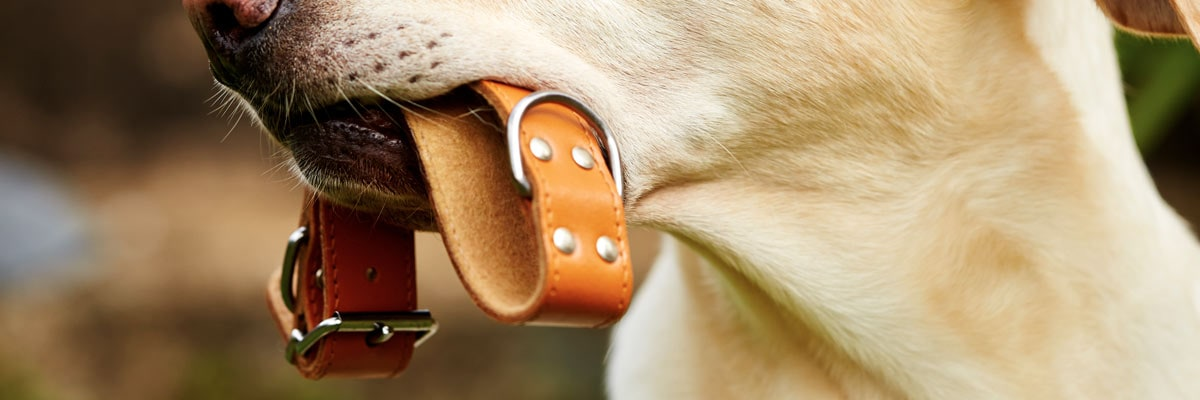 Our guide to the best leather dog collars