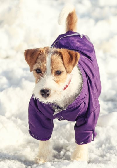 A dog with a coat standing in the snow