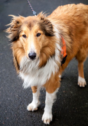 A dog standing with a harness