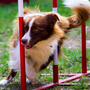 A dog on an agility course