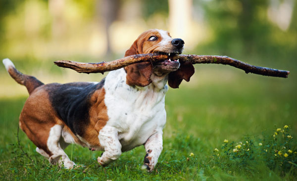 A dog carrying a stick