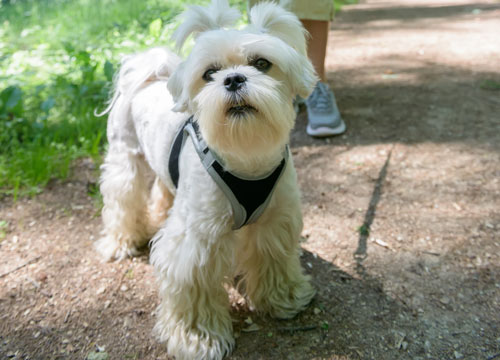A dog standing outside with a harness on
