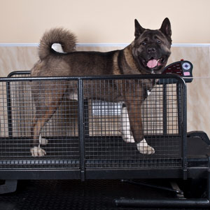 An Akita on a treadmill