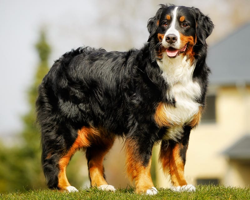 Neutral posture Burmese mountain dog