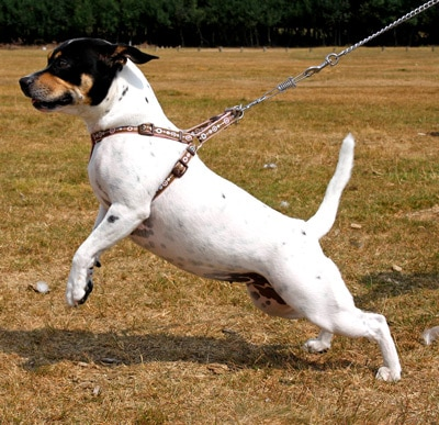 A dog pulling on a harness