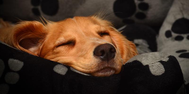 An asleep retriever