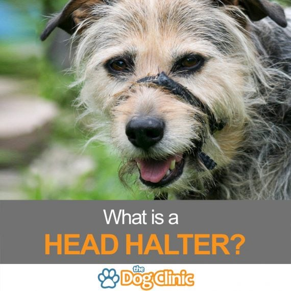 What is a head halter?