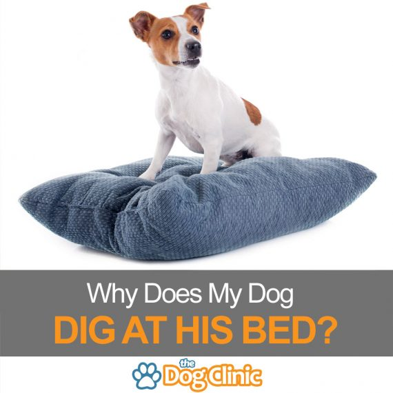 Why do dogs dig at their bed