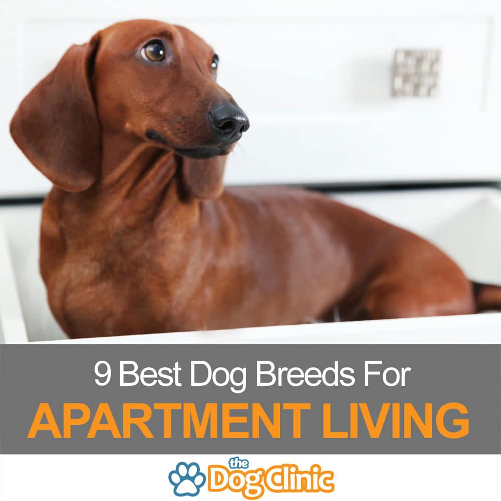 Best Dog Breeds For Apartments: 9 Best Dog Breeds For Apartment Living