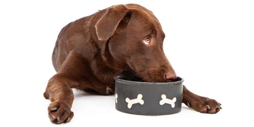 Labrador drinking from bowl