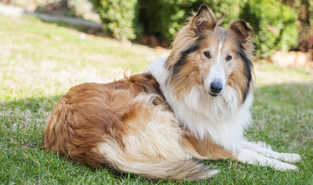A rough collie laying on the grass