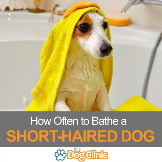 A guide to bathing a short-haired dog