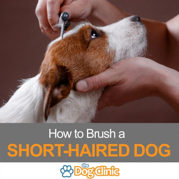 A guide to brushing a short-haired dog