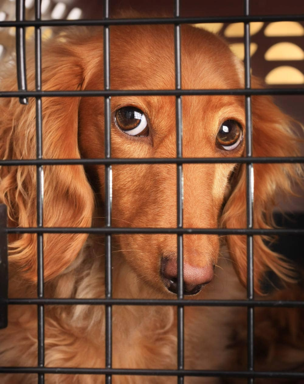 Dachshund in a crate