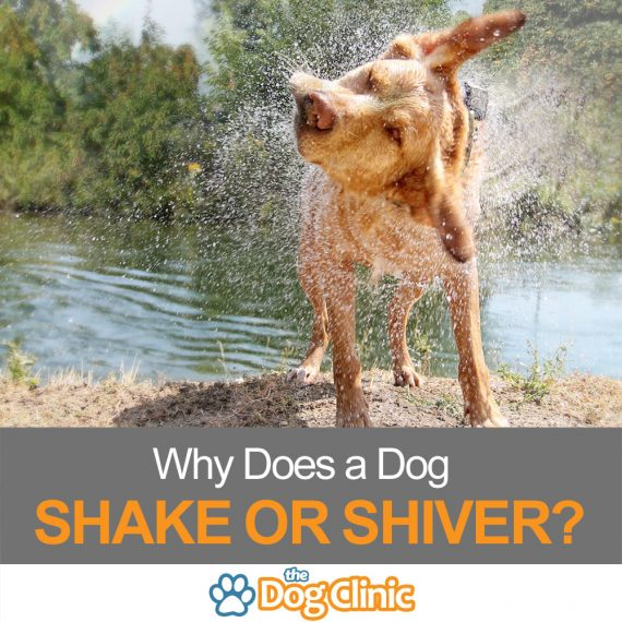 A guide to the reasons dogs shake