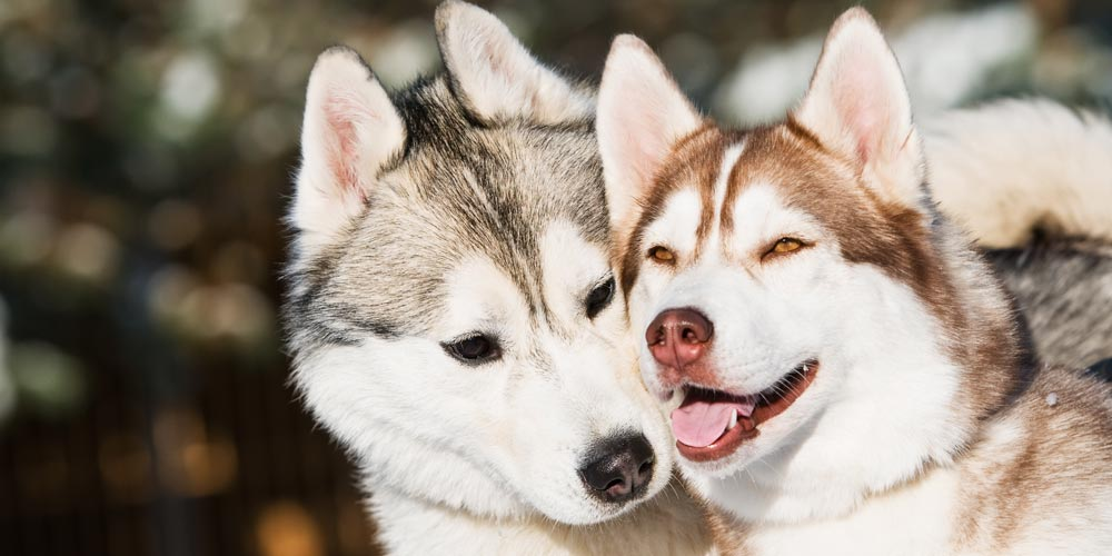 Two Siberian Huskys