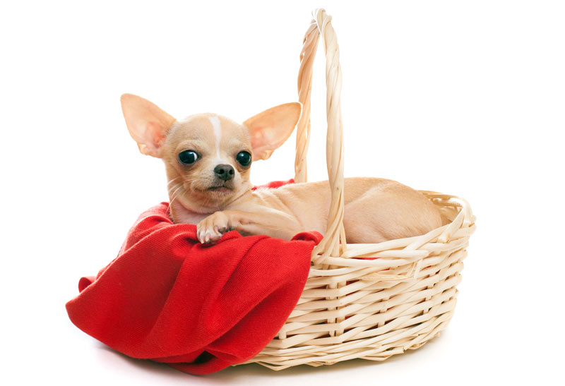 A dog in a basket with a red cloth
