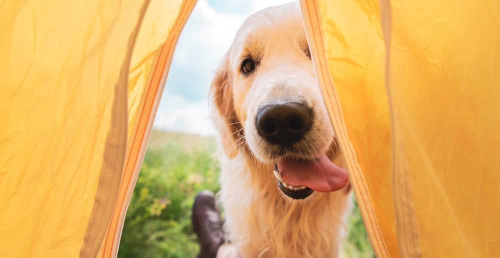 A golden retriever coming into the tent