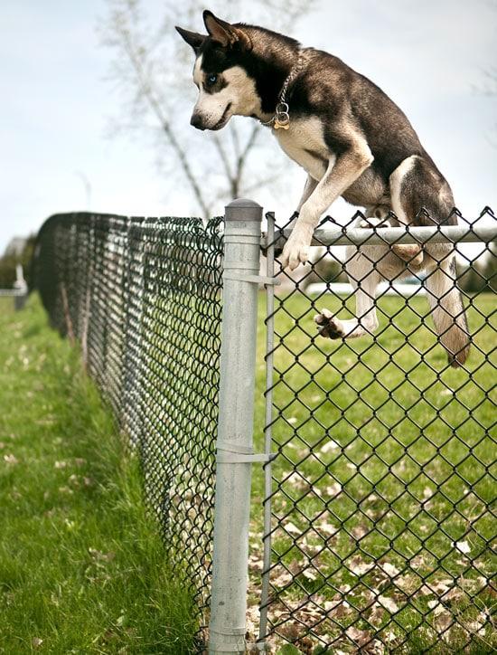 A Siberian Husky jumping a fence