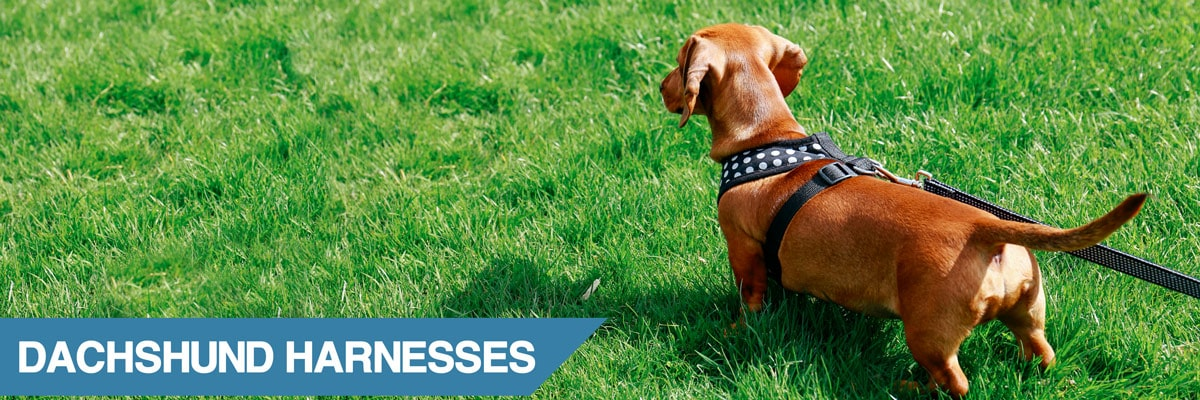 A guide to the best dachshund harnesses