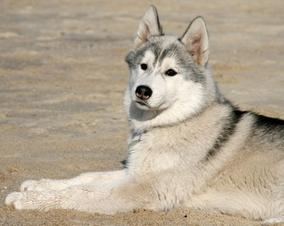Dog laying on sand