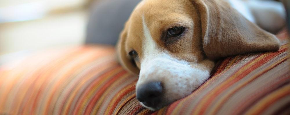 Unwell dog