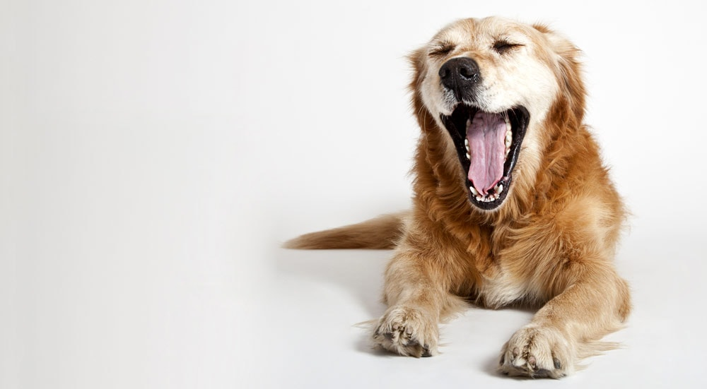 Yawning retriever