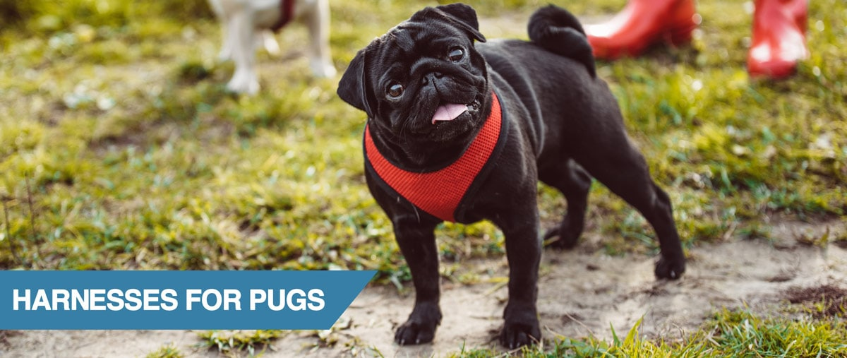 A guide to the best harness for pugs