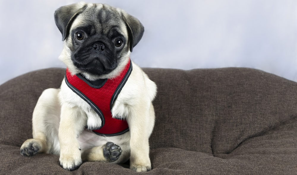 A pug puppy wearing a harness and sitting on a sofa