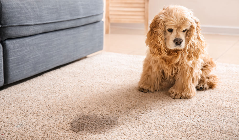 Removing pee odors from the carpet