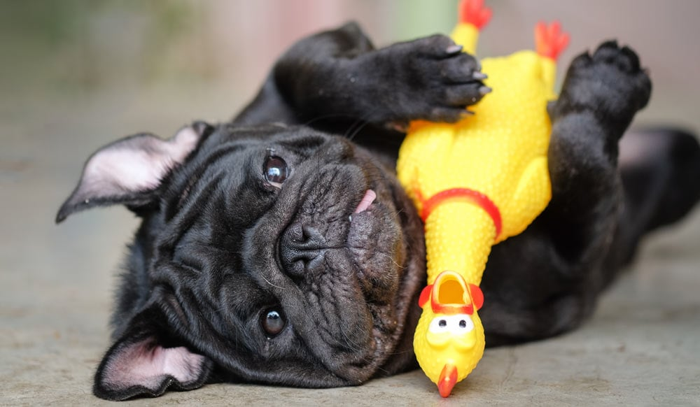A pug lying with a toy chicken