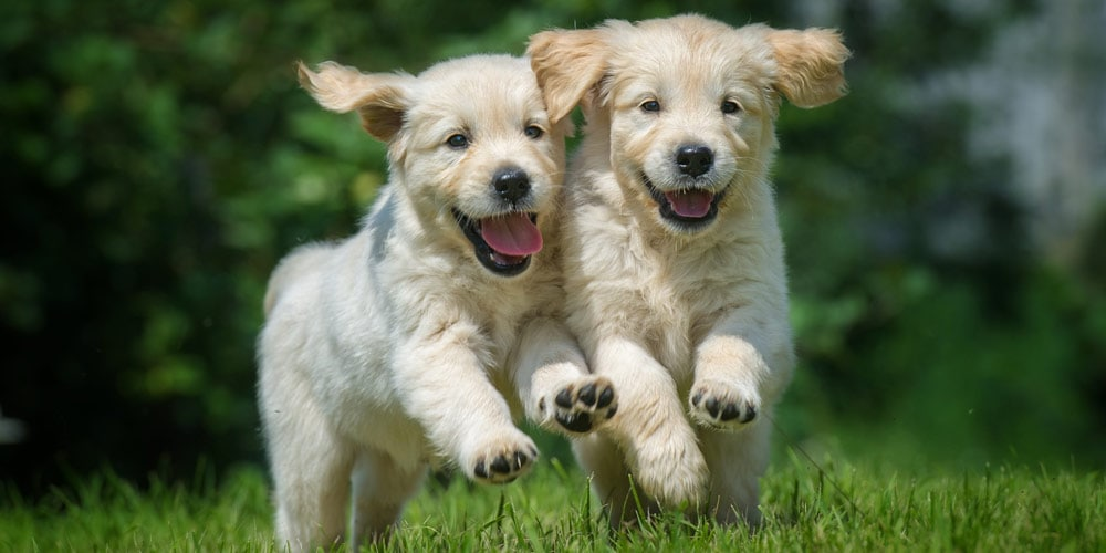 Two puppies running on grass