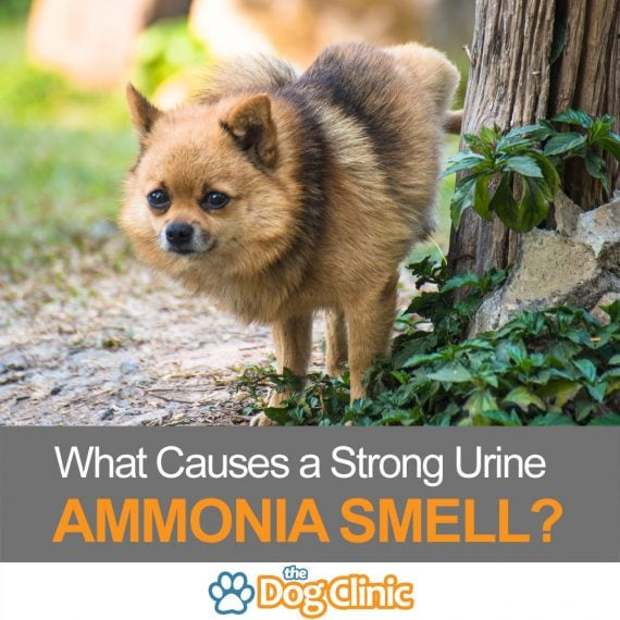 A guide to why a dog's urine might smell like ammonia