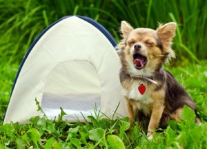 A dog yawning by a tent