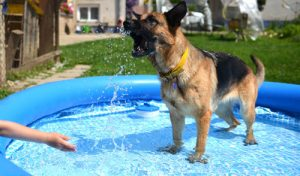 A German Shepherd in a bathing doggie pools