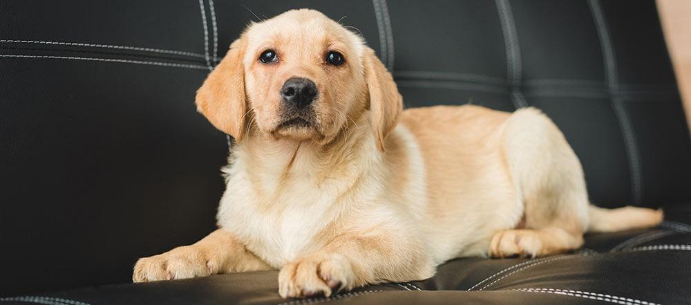 A puppy on sofa