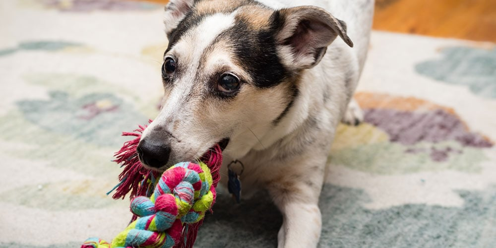A dog with a chew rope
