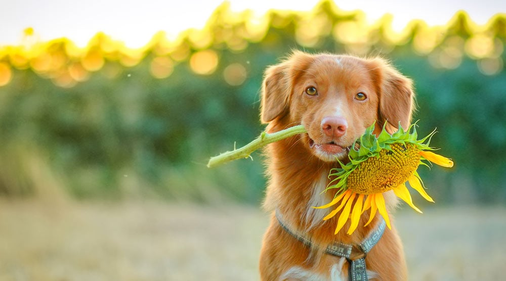 Happy dog with a sunflower in his mouth