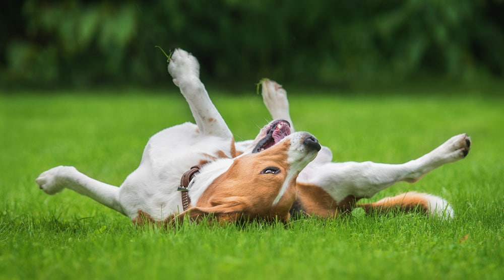 Dog rolling on his back