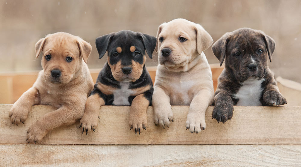 A group of four cute little puppies