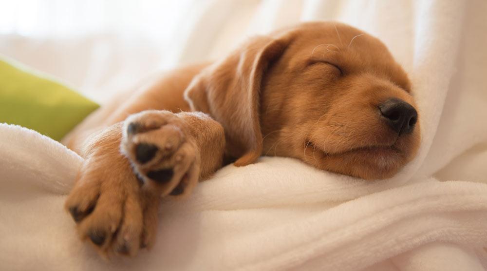Cute resting puppy